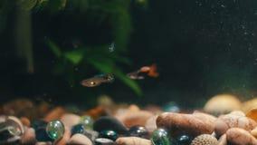 Πολλά όμορφα ζωηρόχρωμα ψάρια με τις μακριές ουρές τουλιού και πρόστιμο στο εγχώριο ενυδρείο φιλμ μικρού μήκους