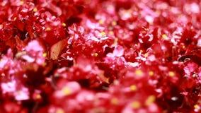 Πολλά όμορφα κόκκινα λουλούδια απόθεμα βίντεο
