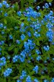 Πολλά blueflowers με το πράσινο φύλλωμα την άνοιξη Στοκ Εικόνα