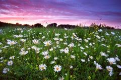 Πολλά camomile λουλούδια στο δραματικό ηλιοβασίλεμα Στοκ Εικόνες