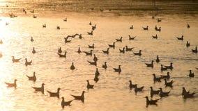 Πολλά seagulls στο νερό στην αυγή Ένας γλάρος τρέπεται σε φυγή φιλμ μικρού μήκους