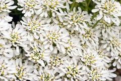 Πολλά Snowflake Iberis sempervirens λουλούδια Στοκ Εικόνα