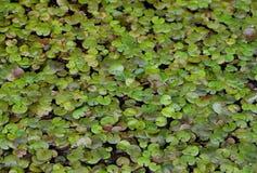 Πολλά waterplants σε μια λίμνη Στοκ Εικόνες