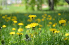 Πολλές ζωηρές κίτρινες πικραλίδες Στοκ Φωτογραφία