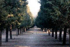 Πολλές κίσσες στη λεωφόρο του πεύκου σε ένα κινεζικό πάρκο, πολύ αρκετά και ειρηνικός Στοκ Εικόνες