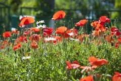 Πολλές κόκκινες παπαρούνες και μικρή μαργαρίτα ανθίζουν Στοκ εικόνα με δικαίωμα ελεύθερης χρήσης