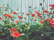 Πολλές κόκκινες παπαρούνες Στοκ Εικόνες