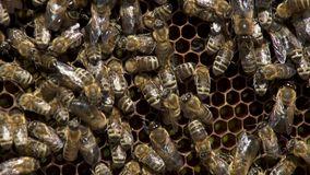 Πολλές μέλισσες που εργάζονται στις κηρήθρες με το μέλι σε αργή κίνηση φιλμ μικρού μήκους