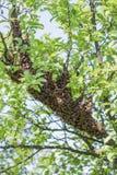 Πολλές μέλισσες στο δέντρο στοκ εικόνα με δικαίωμα ελεύθερης χρήσης