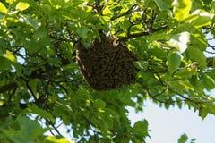 Πολλές μέλισσες στο δέντρο στοκ εικόνες με δικαίωμα ελεύθερης χρήσης