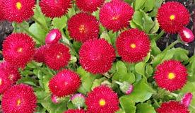 Πολλές μαργαρίτες λουλουδιών σε ένα υπόβαθρο του πράσινου φυλλώματος Στοκ Φωτογραφίες