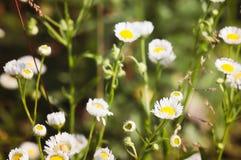 Πολλές μικρές ανθίζοντας μαργαρίτες στον αγροτικό τομέα στο θερινό ήλιο στοκ φωτογραφίες με δικαίωμα ελεύθερης χρήσης