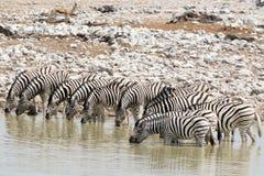 Πολλή κατανάλωση Zebras Στοκ εικόνα με δικαίωμα ελεύθερης χρήσης