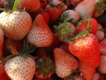 πολλή νέα φράουλα στο αγρόκτημα φραουλών Υπαίθρια φωτογραφία Φρούτα Στοκ φωτογραφία με δικαίωμα ελεύθερης χρήσης