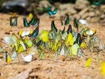 Πολλή πεταλούδα Στοκ Εικόνα