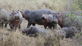 Πολλαπλάσια hippos των διαφορετικών μεγεθών που στέκονται και που βρίσκονται στο έδαφος Στοκ Φωτογραφία