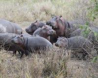 Πολλαπλάσια hippos των διαφορετικών μεγεθών που στέκονται στο έδαφος Στοκ Εικόνες
