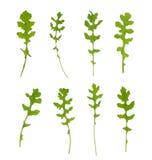 Πολλαπλάσιο signle arugula rucola eruca sativa φρέσκο Στοκ Εικόνες