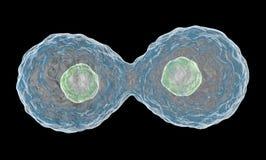 Πολλαπλασιάζοντας κύτταρα. Στοκ Εικόνα