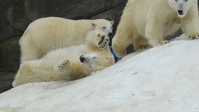 Πολικές αρκούδες που έχουν τη διασκέδαση σε ένα χιόνι φιλμ μικρού μήκους