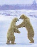 Πολικές αρκούδες που πυγμαχούν σε μια ισχυρή χιονοθύελλα Στοκ Εικόνα