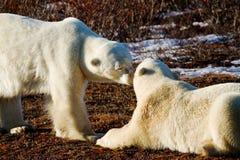 Πολικές αρκούδες που χαιρετούν η μια την άλλη στοκ εικόνα