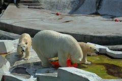 Πολικές αρκούδες στο ζωολογικό κήπο της Μόσχας Στοκ εικόνα με δικαίωμα ελεύθερης χρήσης