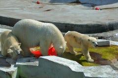 Πολικές αρκούδες στο ζωολογικό κήπο της Μόσχας Στοκ Εικόνες