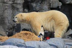 Πολική αρκούδα και θρεσκιόρνιθα Στοκ φωτογραφία με δικαίωμα ελεύθερης χρήσης