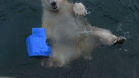 Πολική αρκούδα με την κολύμβηση παιχνιδιών απόθεμα βίντεο