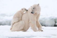 Πολική αρκούδα με cub Στοκ φωτογραφίες με δικαίωμα ελεύθερης χρήσης