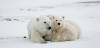 Πολική αρκούδα με cubs tundra Καναδάς στοκ φωτογραφία με δικαίωμα ελεύθερης χρήσης