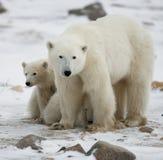 Πολική αρκούδα με cubs tundra Καναδάς στοκ εικόνες