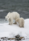 Πολική αρκούδα με cubs tundra Καναδάς στοκ φωτογραφία