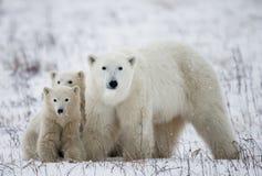 Πολική αρκούδα με cubs tundra Καναδάς στοκ φωτογραφίες