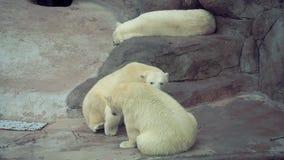 Πολική αρκούδα μια διασκέδαση παιχνιδιού στο ζωολογικό κήπο φιλμ μικρού μήκους