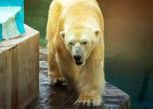 Πολική αρκούδα που στηρίζεται στο ζωολογικό κήπο στοκ φωτογραφία με δικαίωμα ελεύθερης χρήσης
