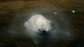 Πολική αρκούδα που τινάζει το κεφάλι του Στοκ Φωτογραφία
