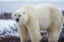 Πολική αρκούδα προσώπου σημαδιών Στοκ φωτογραφία με δικαίωμα ελεύθερης χρήσης