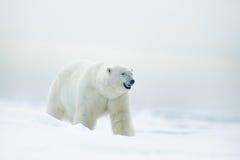 Πολική αρκούδα στον πάγο κλίσης με το χιόνι, θολωμένους συμπαθητικούς κίτρινο και το μπλε ουρανό στο υπόβαθρο, άσπρο ζώο στο βιότ Στοκ Εικόνες