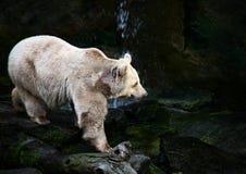 Πολική αρκούδα στους βράχους στοκ φωτογραφία