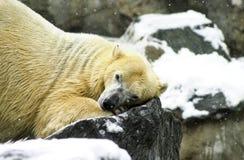 Πολική αρκούδα στο ζωολογικό κήπο του Ρότζερ Ουίλιαμς Στοκ φωτογραφίες με δικαίωμα ελεύθερης χρήσης