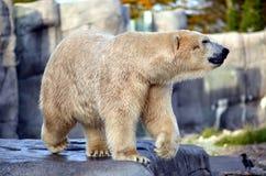 Πολική αρκούδα Στοκ φωτογραφία με δικαίωμα ελεύθερης χρήσης