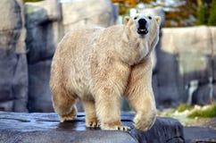 Πολική αρκούδα Στοκ Φωτογραφίες