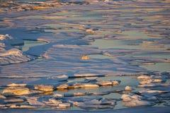Πολική αρκούδα, maritimus Ursus που κυλά στο επιπλέον πάγο πάγου στη θάλασσα Beaufort Στοκ Φωτογραφία