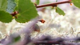 Πολική μακροεντολή σημύδων στο βρύο φιλμ μικρού μήκους