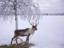 Πολικός τάρανδος Στοκ φωτογραφία με δικαίωμα ελεύθερης χρήσης
