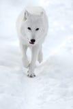 Πολικός λύκος Στοκ Εικόνα