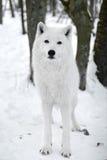 Πολικός λύκος Στοκ Φωτογραφία