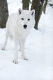 Πολικός λύκος Στοκ Φωτογραφίες